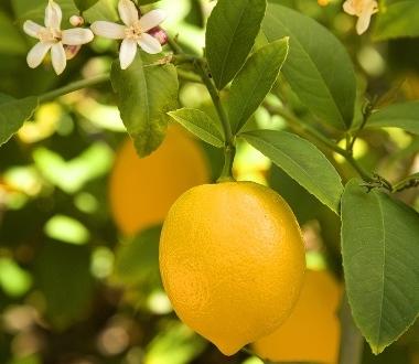 Гідролат Лимона, Франція - 1