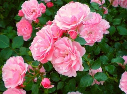 Гидролат Розы Дамасской, Франция - 1