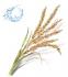 Водорозчинна олія Рисових зародків - 1